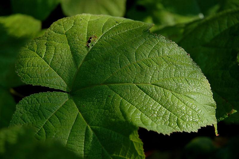 Rubus leaf low
