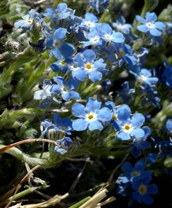 Forget me nots low res