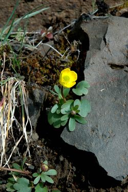 Ranunculus glab low