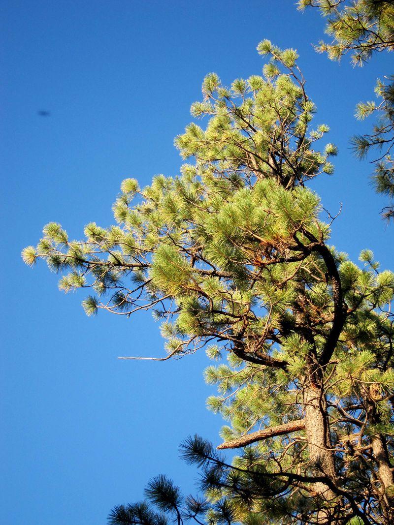 Ponderosa pine top