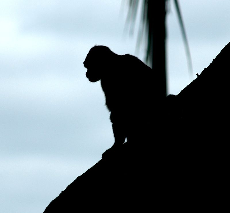 Capuchin silhouette low res