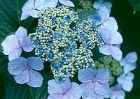 Hmacrophylla_3