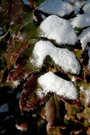 Mahonia_snow_low_res