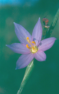 Sisyrinchium_infl
