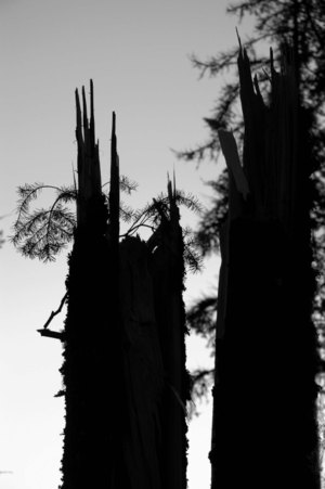 Split_doug_fir_low_res
