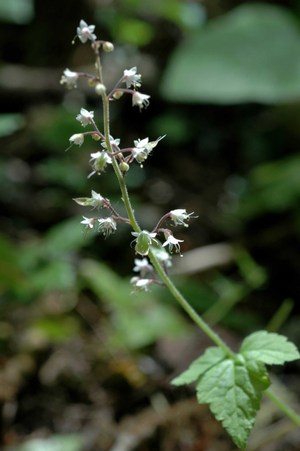 Tiarella_low_res