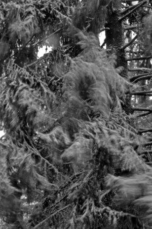 Wind_in_tree_bw